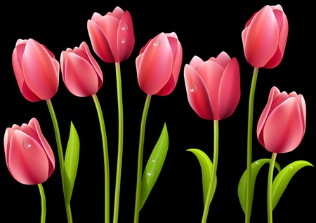 Different tulips isolated on black background