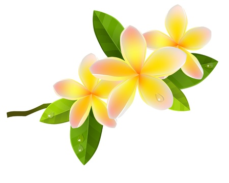 Illustration for Frangiapani flowers - Royalty Free Image