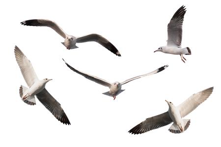 Photo for set of seagulls isolated on white background. - Royalty Free Image