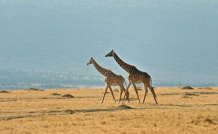 Wild giraffe in Kenya