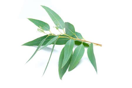 Photo for Eucalyptus leaves isolated on white background - Royalty Free Image