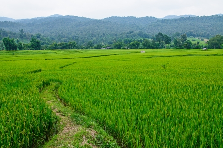 Photo pour Field rice and farmer hut in countryside of Thailand  - image libre de droit