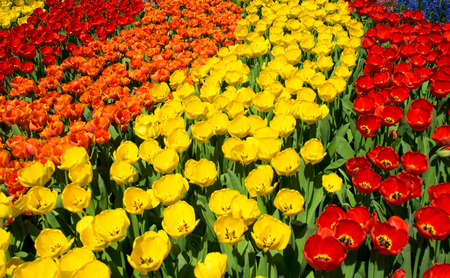 Tulips and Flowers in Netherlands
