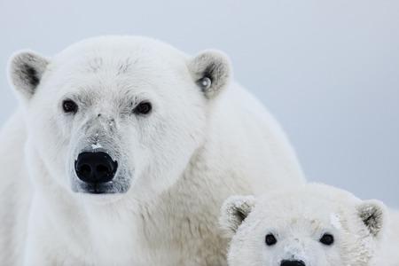Photo pour Polar bear, northern arctic predator. Polar bear in natural habitat. - image libre de droit