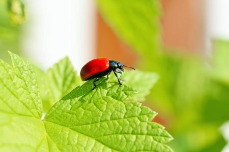 Lilioceris cheni the air potato beetle