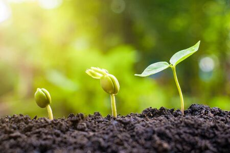 Photo pour Seed plants are growing.They are growing step by step.One has root and grow under the soil and the other seed has leaves.They are growing among sunlight.Photo new life and  growing concept. - image libre de droit