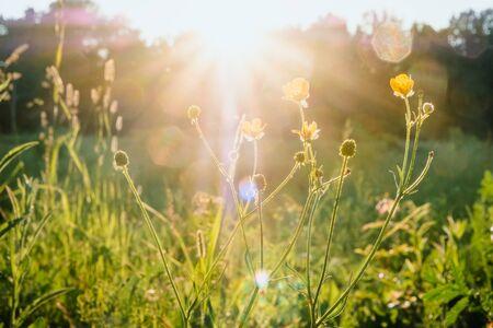 Foto de Sun rays at sunset through the grass and flowers in the field. Russia, Vladimir - Imagen libre de derechos