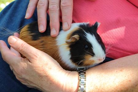 Photo pour Woman cuddling a Guinea pig on her knees - image libre de droit