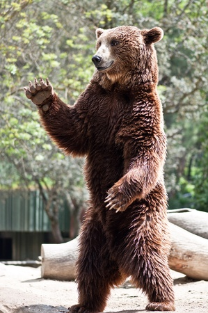Brown bear standing up and saying hello