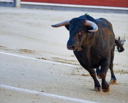The bull running during a bullfight in Madrid. Plaza de Toros de las Ventas. Spain