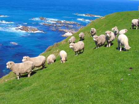 Sheep And Grassland At Seashore