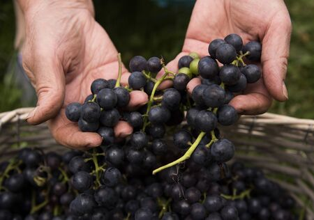 Photo pour Hands of an elderly woman, pulling out of the basket ripe clusters of dark grapes. - image libre de droit