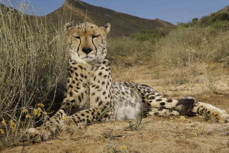 wild chetah lying for rest after the hunt