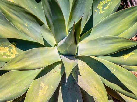 Photo pour Close up of agave plant, green leaves with yellow spots .Abstract floral . - image libre de droit