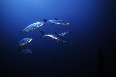 Tarpon circling in Blue water