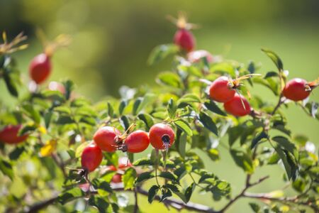 Branch of hip bush with many red ripe rosehips under an autumn sun rays. A natural fruit growing free and ready for picking in the autumn.