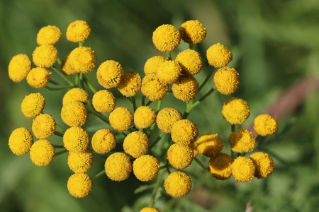 Fluffy yellow round flowers tansy on a sunny day