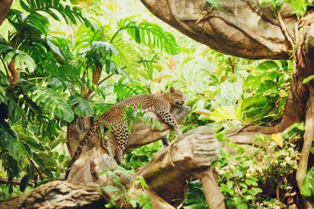 Lying (sleeping) leopard on tree branch. In the forest (jungle)