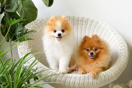 Photo for pomeranian  smile,animal playing outside smiles,The dog sat happily in a beautiful white chair. - Royalty Free Image