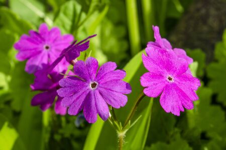 Lilac flowers of a primrose close up against a background of a green grass