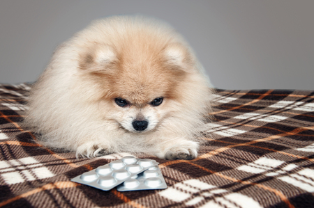 Sick Pomeranian puppy laying next to the tablets for the treatment after a visit to the veterinary clinic. The treatment and care of dogs. Isolated. The horizontal frame.