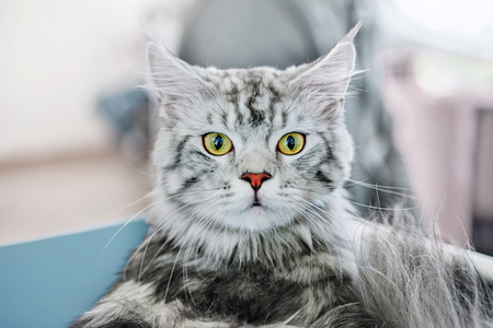 A beautiful fluffy gray thoroughbred cat Meinkun looks. Surprised animal.