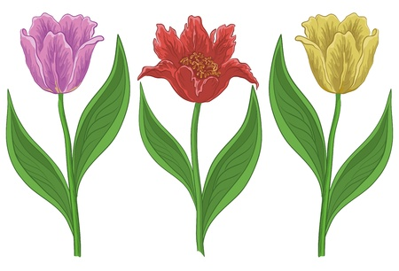 Vector, set various flowers tulips, isolated on a white
