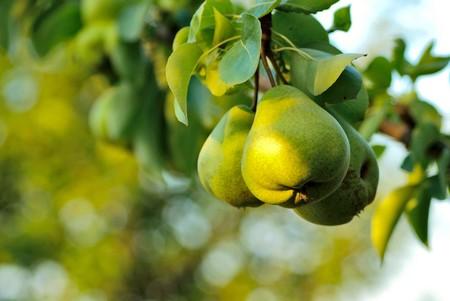 Foto für Three green pears with leafs on the branch - Lizenzfreies Bild