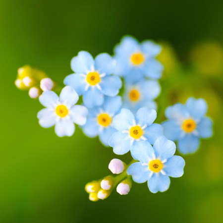 Foto de Meadow plant background: blue little flowers close up and green grass. Shallow DOF - Imagen libre de derechos