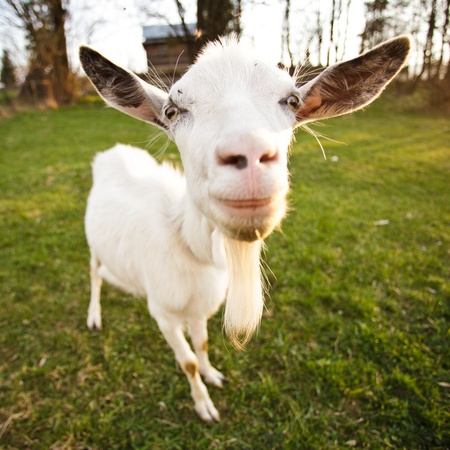 Distorted goat look and smile, closeup muzzle