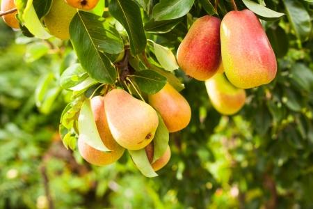 Foto für Pears on a tree branch closeup in orchard - Lizenzfreies Bild