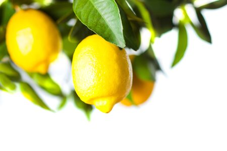 Photo for Lemon fruits close up with green leaves - Royalty Free Image