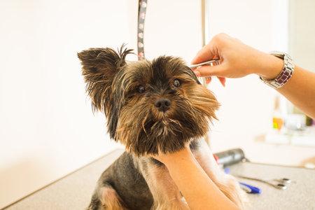 Photo pour Final touches before participating in dog show - image libre de droit