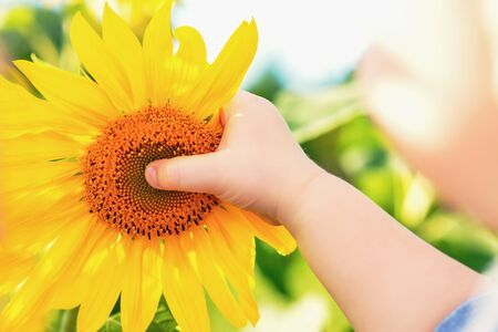Photo pour Baby's hand touches sunflower in the field in summer. - image libre de droit