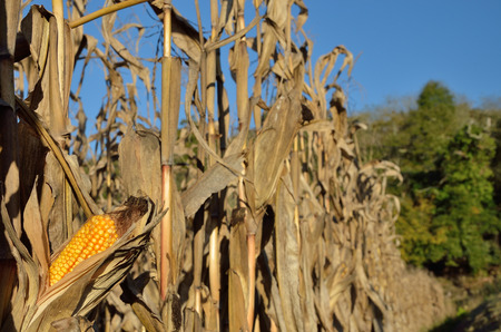 There are dry stems with mature corncobs in the autumn corn field.