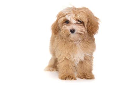 Foto de Little puppy maltipoo isolated on white background - Imagen libre de derechos
