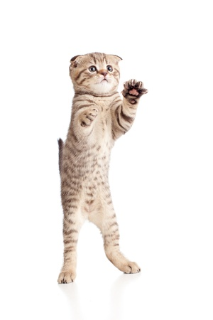 Funny playful kitten is dancing  Isolated on white background