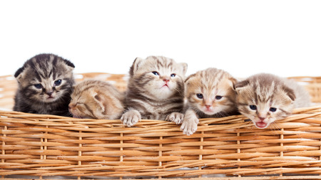 five small cats kittens in basket