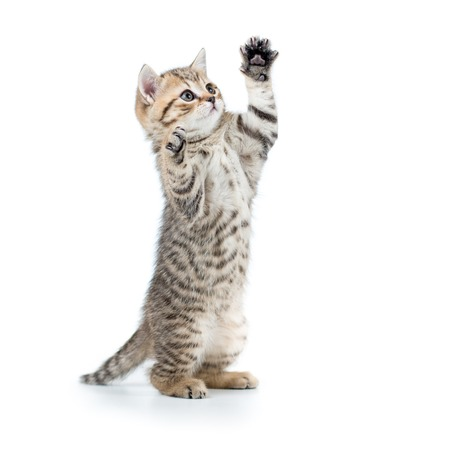 Photo pour playful scottish cat kitten looking up. isolated on white background - image libre de droit