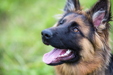Photo pour Young dog german shepherd on the grass in the park - image libre de droit