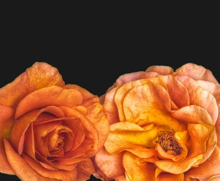 Photo for vibrant pair of touching rose blossoms with rain drops in vintage painting style on black background - Royalty Free Image