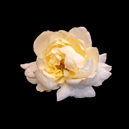 Photo for bright monochrome white rose blossom macro isolated on black background in vintage painting style - Royalty Free Image