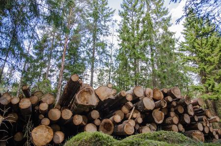 Photo pour Low angle photo of a logpile in a coniferous forest - image libre de droit