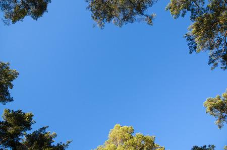 Blue sky surrounded of pine tree tops like a frame
