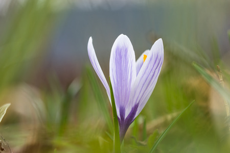 Blossom blueish crocus closeup with a soft green natural background