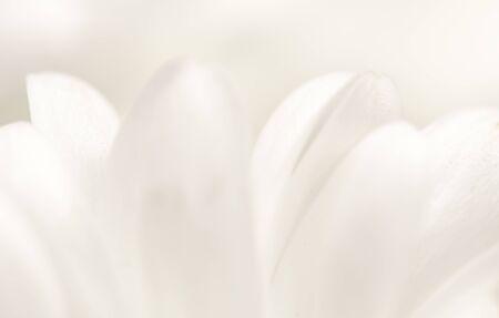 Photo pour Soft focus, retro art, vintage card and botanical concept - Abstract floral background, white chrysanthemum flower petals. Macro flowers backdrop for holiday brand design - image libre de droit
