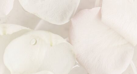 Photo for Botanical concept, wedding invitation card - Soft focus, abstract floral background, white rose flower. Macro flowers backdrop for holiday brand design - Royalty Free Image