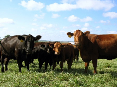Black and Red Angus Cows Cattle