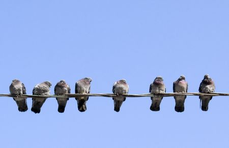 Pigeons warming themselves in the spring sun, sitting on the wire.