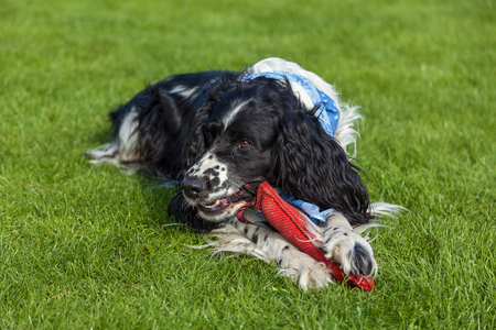 the dog of breed Cocker Spaniel lies on a green grass, blackly white Cocker Spaniel